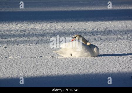 Le cygne est assis sur la neige qui s'étend sur le long cou élégant. Neige sur le lac d'hiver, au soleil d'hiver. Le cygne et la saison d'hiver au Royaume-Uni.