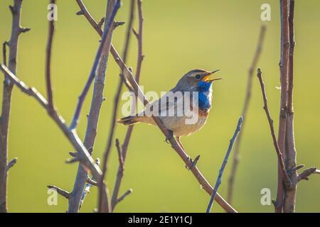Un oiseau à gorge bleue mâle Luscinia svecica cyanula chantant pour attirer Une femelle pendant la saison de reproduction à Springtime
