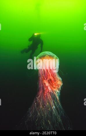 Un plongeur (MR) et un méduse de la manée du lion, Cyanea capillata, qui peut atteindre six pieds de largeur avec des tentacules de 30 pieds, Colombie-Britannique, Canada. C'est le cas