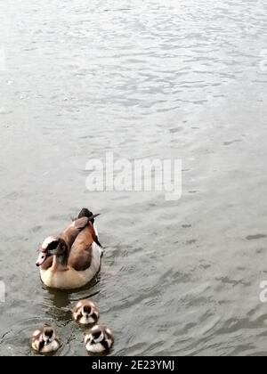 Canards dans le lac. Enfield, Londres, Royaume-Uni. Banque D'Images