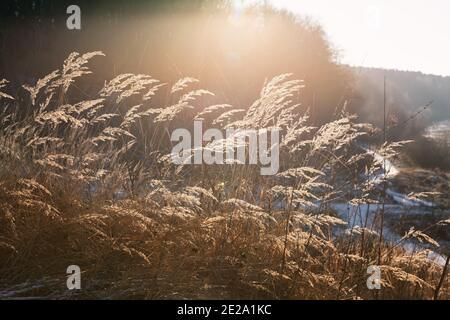 Journée glaciale dans la forêt d'hiver. Des épillets et des lames d'herbe sur le fond d'un champ et d'une forêt enneigés. Paysage d'hiver.