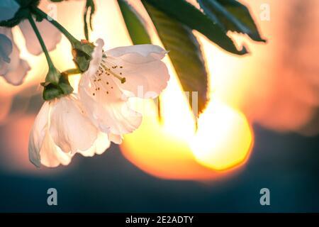 Branche de cerisiers en fleurs sous le coucher du soleil avec éclat dans le arrière-plan
