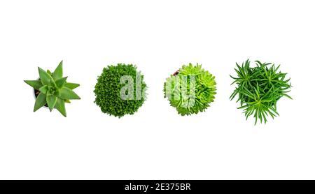 Plantes succulentes isolées, vue du dessus