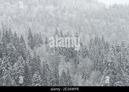 Forêt de sapins et de pins d'hiver recouverte de neige après une forte chute de neige. Paysage magnifique
