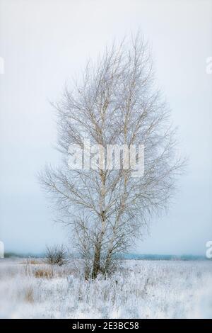 Un bouleau solitaire dans un champ enneigé sur un jour nuageux