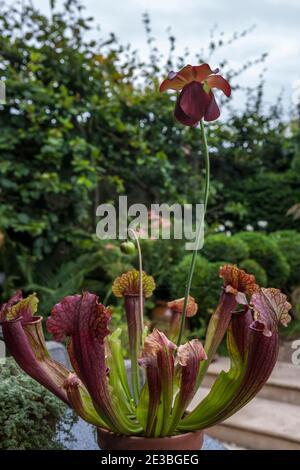 Sarracenia (pichet en trompette) est une plante carnivore, qui pousse ici comme plante en pot dans un jardin anglais