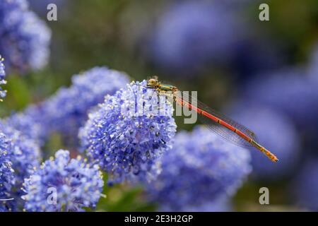 Grand Damselfly rouge ; Pyrhosoma nymphula ; on Ceanothus Flower ; Royaume-Uni