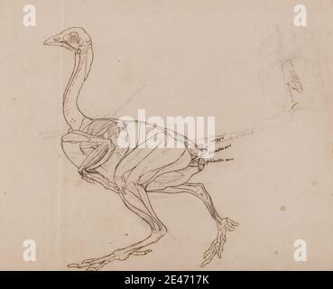 George Stubbs, 1724–1806, British, Dorking Hen Body, Lateral View (dessin-plan des muscles), 1795 à 1806. Graphite, stylo à l'encre de la Galle de fer, avec des traces d'encre rouge sur du papier de vélin fin, légèrement texturé, crème posé sur de la crème modérément épais, modérément texturé, papier de vélin. Étude anatomique , anatomie , oiseau , étude de figure , étude (travail visuel)