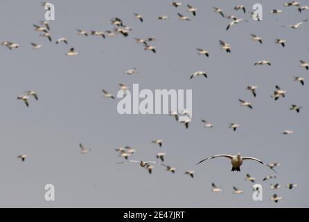 Prime Hook, États-Unis. 16 janvier 2021. Les Oies des neiges survolent la ferme du Delaware.chaque année, des milliers d'Oies des neiges migrent vers le Delaware pour éviter les hivers rigoureux de l'arctique. Crédit : Aimee Dilger/SOPA Images/ZUMA Wire/Alay Live News Banque D'Images