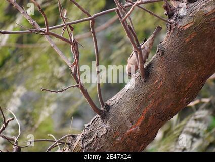 La péronie à gorge jaune ou à épaulement de châtaignes (Gymnoris xanthocollis) est une espèce de Bruant qui se trouve dans le sud de l'Asie.