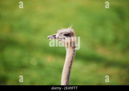 Autruche sud-africaine (Struthio camelus australis), portrait, latéralement, Bavière, Allemagne, Europe