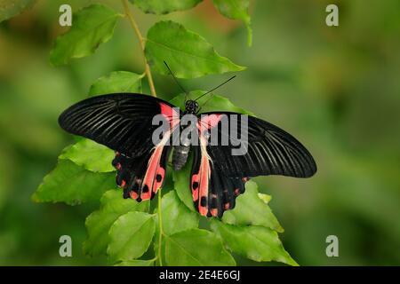 Beau papillon noir, Scarlet ou Mormon rouge, Papilio rumanzovia. Gros insecte coloré sur la branche verte. Banque D'Images