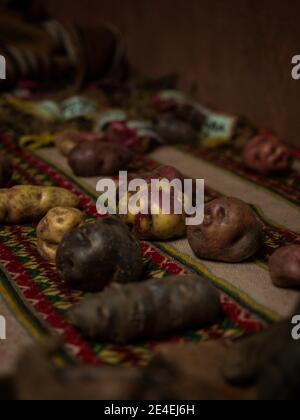 Vue rapprochée de différents types de natifs locaux Variété de la collection de pommes de terre au musée de la pomme de terre de Palccoyo Cuzco Pérou Sud Amérique