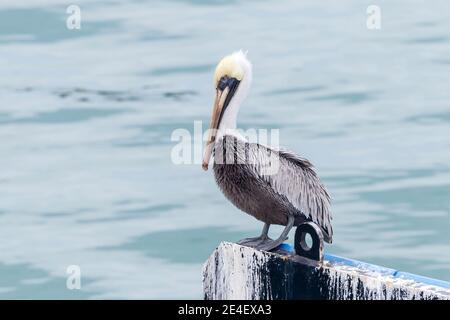 Brown Pelican, (Pelecanus occidentalis), adulte célibataire perché sur la jetée dans le port, Cozumel, Mexique, 16 janvier 2016
