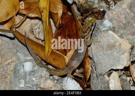 Gonatodes albogularis fuscus, gecko à tête jaune, Kleiner Gelbkopfgecko, femme, Weibchen