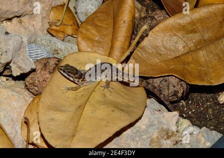 Gonatodes antillensis, antilles gecko, Antillen-Zwerggecko, femme, Weibchen