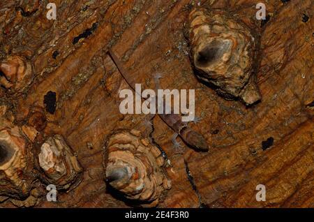 Gonatodes antillensis, antilles gecko, Antillen-Zwerggecko, juvenil, Jungtier