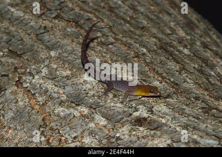 Gonatodes antillensis, antilles gecko, Antillen-Zwerggecko, homme, Männchen