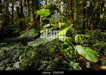 Forêt tropicale luxuriante dans le parc national de la Amistad, province de Chiriqui, République du Panama.
