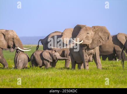 L'éléphant d'Afrique dépasse le tronc pour faire un son de trompette (trompetting) et rabats ses oreilles, copié par le joli petit veau. Parc national d'Amboseli, Kenya