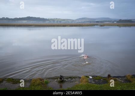 L'homme nage à marée haute à travers la rivière Nith, à côté du village de Glencarple, Dumfries et Galloway, en Écosse.