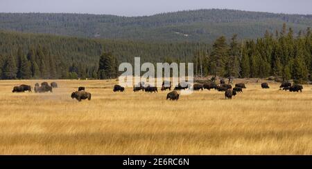 Où le Buffalo se promènent dans le parc national de Yellowstone, Wyoming