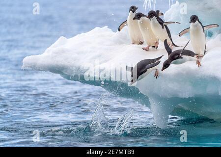 Six pingouins d'adelie jouant sur un iceberg ; deux commencent à plonger dans l'eau, ça ressemble à une course ! Banque D'Images