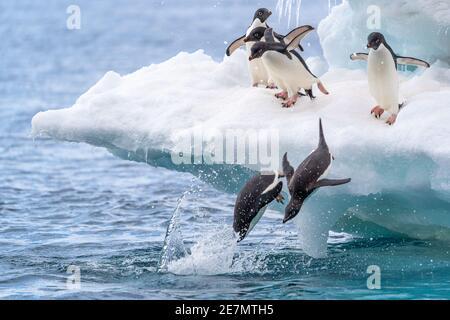 Six pingouins d'Adelie jouant sur un iceberg avec deux plongées à mi-plongée dans l'eau