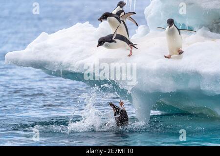 Adelie Penguins plongée dans l'eau, un avec seulement son arrière sortant