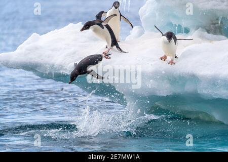 Des pingouins d'Adelie plongent dans l'eau depuis un iceberg Antarctique