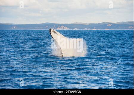 Baleine à bosse (Megaptera novaeangliae) violer, Hervey Bay, Queensland, Australie