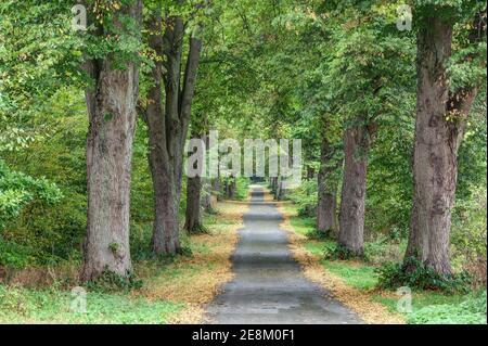 En automne, la petite route qui traverse la magnifique avenue bordée d'arbres est encadrée par les feuilles jaunes des arbres.