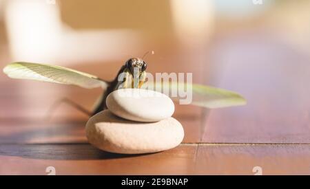 Mantis de prière avec des ailes striées sur des pierres blanches Table en bois aux couleurs pastel en Espagne