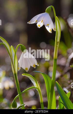 Portrait artistique de fleurs de flocon de neige de printemps (leucojum vernum) qui fleurissent au début du printemps dans la vallée alpine 'Frühlingstal' à Kaltern, dans le Tyrol du Sud