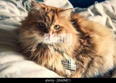 Un chat au gingembre doux au lit portant une cravate
