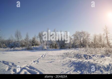 Soleil dans le ciel bleu au-dessus des prairies, des buissons et des arbres couverts de gel. Fabuleux paysage d'hiver