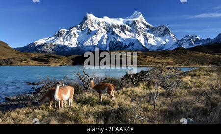 Guanacos devant les Cuernos et le lac Pehoe, parc national Torres del Paine, Patagonie, Chili