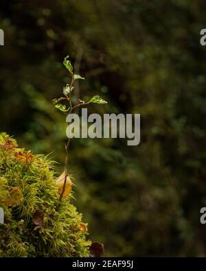 Nouvel arbre provenant des troncs d'arbres couverts de mousse avec toile d'araignée dans la forêt verte luxuriante. Format vertical.