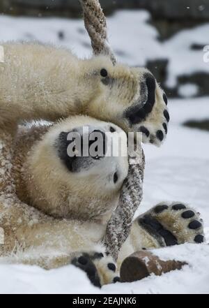 Berlin, Allemagne. 09e février 2021. Hertha, un ours polaire de deux ans, joue avec une corde avec ses pattes au zoo de Berlin. Credit: Kira Hofmann/dpa-Zentralbild/ZB/dpa/Alay Live News