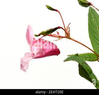 Druesiges Springkraut, Impatiens, glandulifera