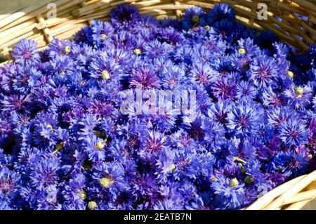 Kornblumenblueten Centaurea cyanus