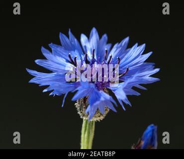 Kornblume, Centaurea cyanus