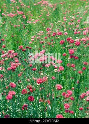 Kornblume Centaurea cyanus, à cœur