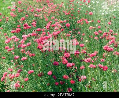 Kornblamen Centaurea cyanus, à cœur