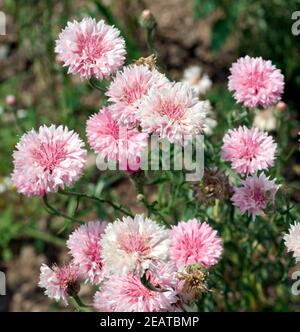 Kornblume Centaurea cyanus