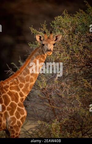 Vue rapprochée de la girafe du sud, debout près du buisson des épines