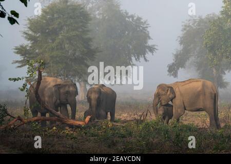 famille d'éléphants d'asie sauvage ou troupeau mangeant l'écorce de l'arbre dans la zone dhikala du parc national jim corbett uttarakhand india - Elepha maximus indicus