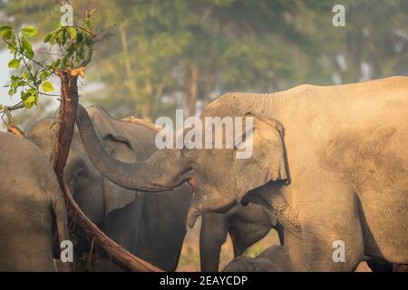 éléphant d'asie sauvage manger l'écorce d'arbre dans la zone de dhikala Du parc national jim corbett uttarakhand india - Elepha maximus indicateur