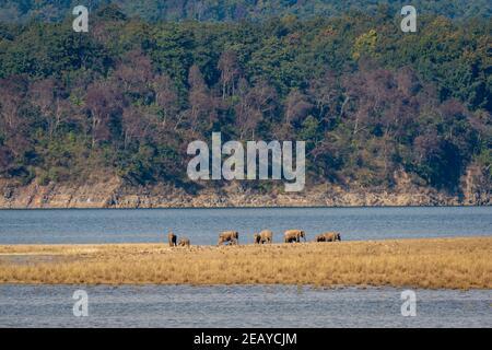 troupeau d'éléphants ou de défenses sauvages d'asie ou famille avec veau près de la rivière ramganga dans le paysage pittoresque arrière-plan de la zone dhikala au parc national jim corbett