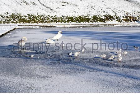 Édimbourg, Écosse, Royaume-Uni. 11 février 2021. Un matin ensoleillé mais glacial dans un parc couvert de neige Inverleith. BirdLife au sommet d'un étang d'Inverleith gelé. Crédit : Craig Brown/Alay Live News